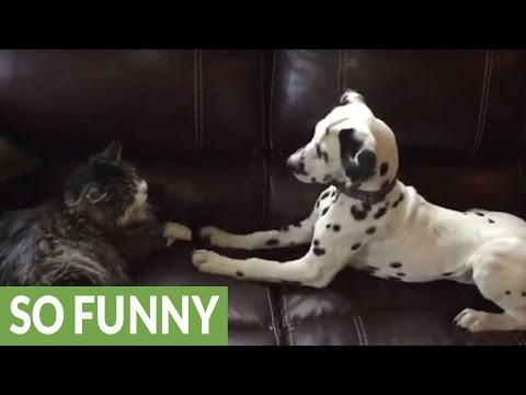 Dalmation Pup Can't Figure Out Why the Cat Doesn't Want to Play