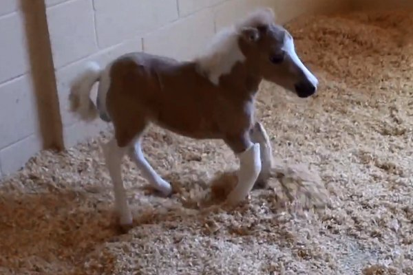 Mia the Adorable Mini Horse (Video)
