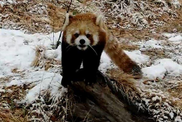 雪にはしゃぐレッサーパンダ サラ