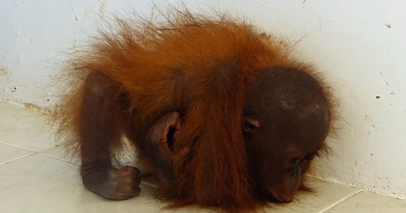 A Baby Orangutan Was Emotionally Abused For Years  This Will Break Your Heart