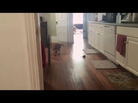 Watch a Blind Kitty Play Fetch With Her Human