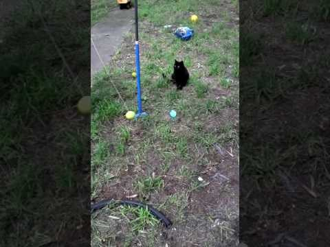 "Cat Plays ""Totem Tennis"" or Tetherball All by Himself"