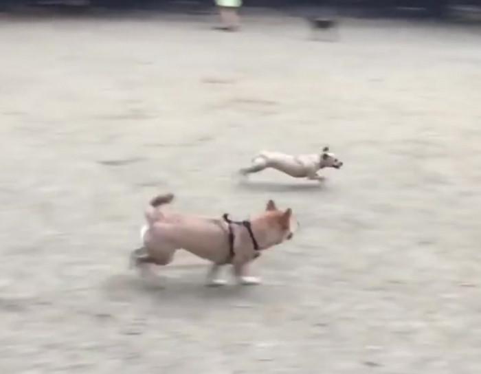 World's quickest little dog.
