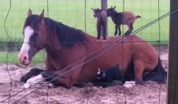 Baby Goats Playing on a Horse (Video)